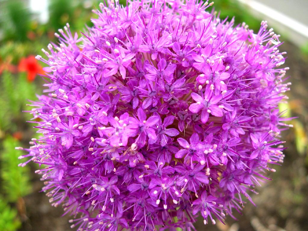 100x Purple Giant Allium Giganteum Beautiful Onion Magenta Perennial Flower Seed | eBay